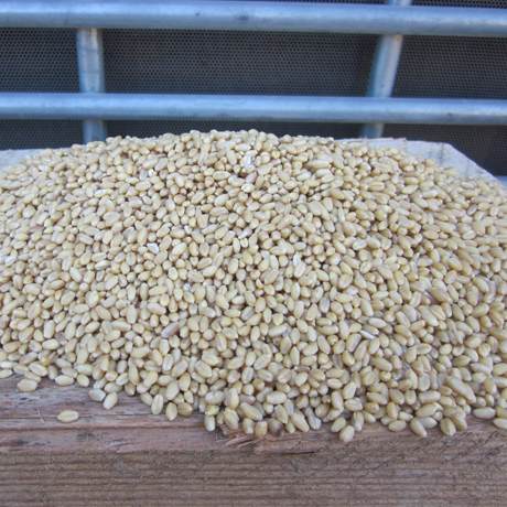 Organic Sonora Wheat Berries
